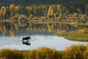 Bull Moose in Grand Teton NP by Russell Burden