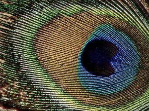 Close-up of Peacock Feather by Russell Burden