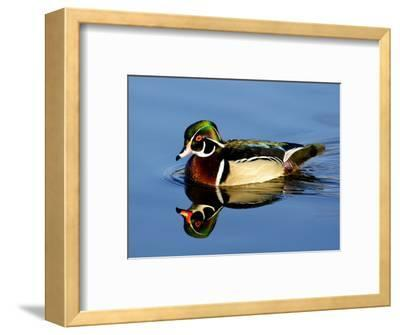 Male Wood Duck with Reflection