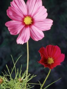 Mixed Cosmos Flowers by Russell Burden