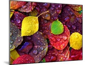 Multi-Colored Aspen Leaves with Rain Drop by Russell Burden