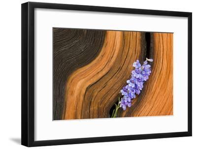 Penstemon in Bristle Cone Pine Cavity
