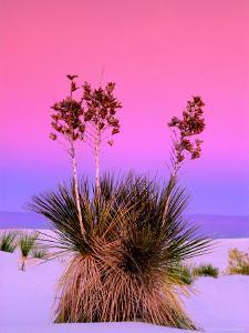Pink Morning Sky with Yucca by Russell Burden