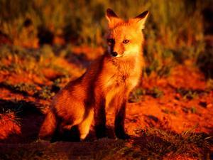Red Fox at Den at Sunrise by Russell Burden
