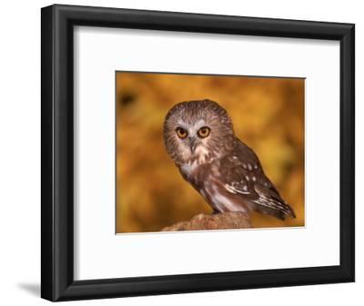 Saw-Whet Owl on Tree Stump