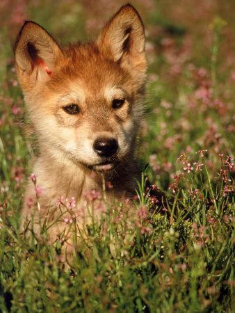 Six-week-old Wolf Pup, Colorado