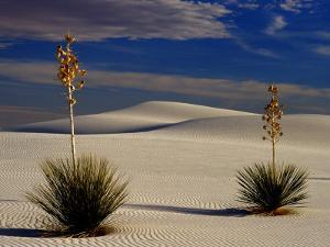 Two Yuccas in Sand by Russell Burden