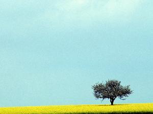 Lone Tree in Field of Rapeseed, Germany by Russell Gordon