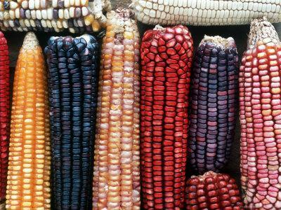 Varieties of Corn that Lacandons Grow in Their Milpas, Selva Lacandona, Naha, Chiapas, Mexico