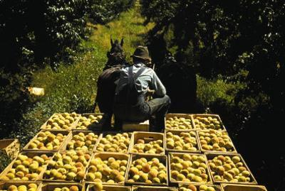 Hauling Crates of Peaches