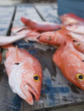 Goldeneye Fish, Caye Caulker, Belize