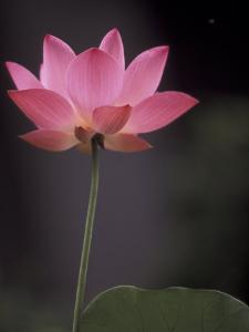 Lotus Flower in Bloom, Cambodia by Russell Young
