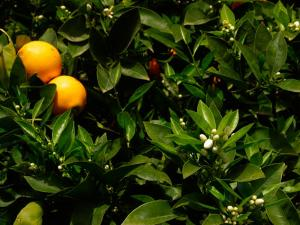 Orange Tree, Tenerife, Canary Islands, Spain by Russell Young