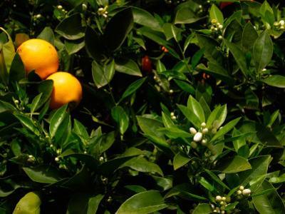 Orange Tree, Tenerife, Canary Islands, Spain