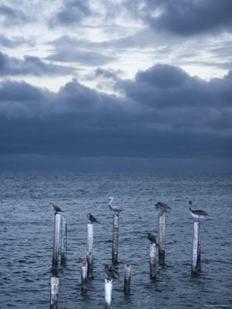 Pelicans, Caye Caulker, Belize