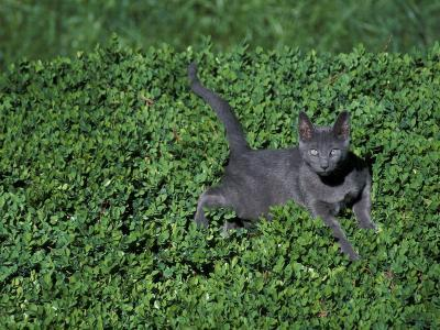 Russian Blue Cat Lying on Plants in a Garden, Italy-Adriano Bacchella-Photographic Print