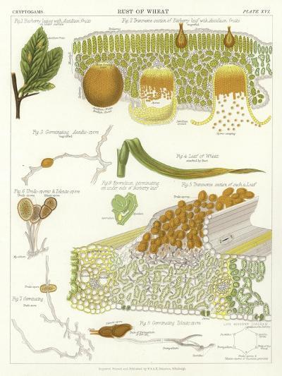 Rust of Wheat--Giclee Print