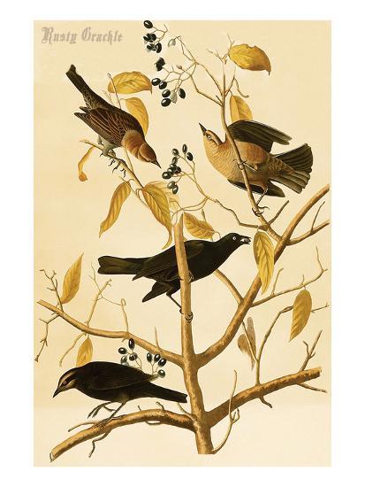 Rusty Grackle-John James Audubon-Art Print