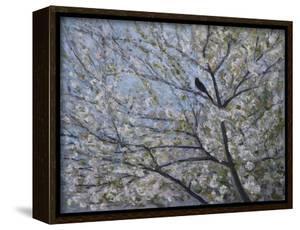 Blackbird Singing in Cherry Blossom by Ruth Addinall