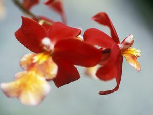 Burrageara (Stefan Isler), Orchid, Close-up of Red Flower by Ruth Brown
