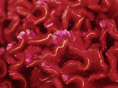 Celosia Argentea Var Cristata (Cockscomb)