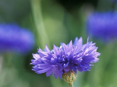 Centaurea Cyanus (Blue Cornflower), Close-up
