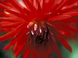 Dahlia (Bergers Record), September, Close-up of Red Flower by Ruth Brown
