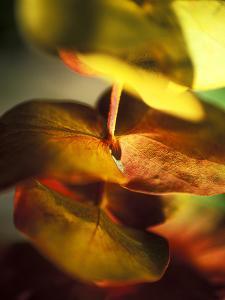Eucalyptus (Gum Tree, Ironbark), Close-up of Leaves by Ruth Brown