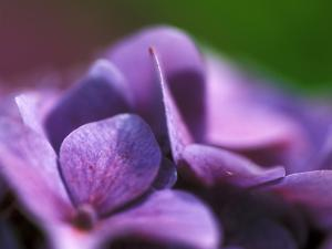 Hydrangea Macrophylla (Bouquet Rose), Close-up by Ruth Brown