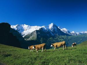 Cows in Alpine Meadow with Fiescherhorner and Eiger Mountains Beyond, Swiss Alps, Switzerland by Ruth Tomlinson