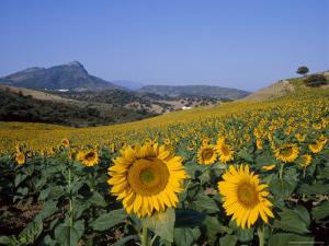 Field of Sunflowers in Summer, Near Ronda, Andalucia, Spain by Ruth Tomlinson