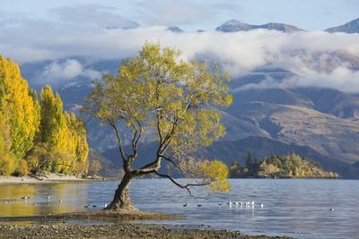 Lone willow tree growing at the edge of Lake Wanaka, autumn, Roys Bay, Wanaka, Queenstown-Lakes dis