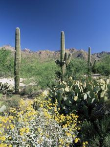 Tall Saguaro Cacti (Cereus Giganteus) in Desert Landscape, Sabino Canyon, Tucson, USA by Ruth Tomlinson