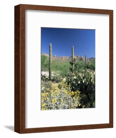Tall Saguaro Cacti (Cereus Giganteus) in Desert Landscape, Sabino Canyon, Tucson, USA