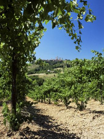 View from Vineyard of the Town of San Gimignano, Tuscany, Italy