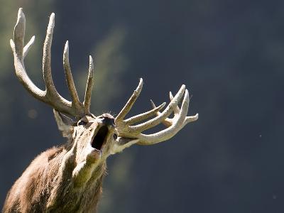 Rutting Stag Bellows in a Wildlife Park in Aurach, Austria--Photographic Print