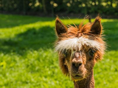 Portrait of a Cute Young Brown Llama by Ruud Morijn