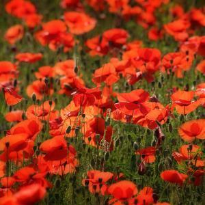 Poppies by Ruud Peters