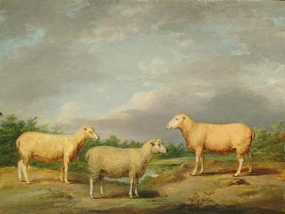 Ryelands Sheep, the King's Ram, the King's Ewe and Lord Somerville's Wether, C.1801-07-James Ward-Giclee Print
