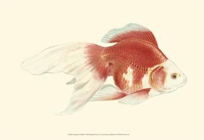 Fringetail Goldfish