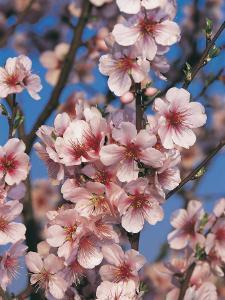Close-Up of Peach Blossom Flowers (Prunus Persica) by S. Montanari