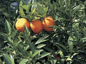 Close-Up of Sour Oranges Hanging from a Tree (Citrus Aurantium) by S. Montanari