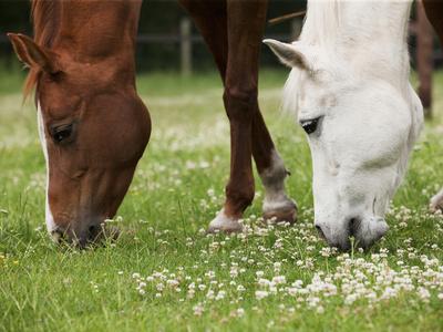 Horses, Meadow, Graze
