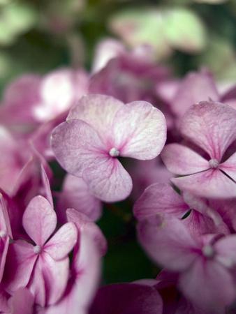 Hydrangeas, Blossoms, Pink, Detail