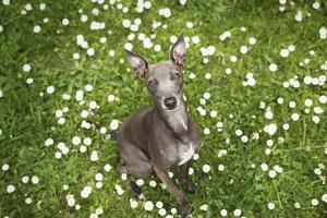 Italian Greyhound, Flower Field, Sitting, Looking at Camera by S. Uhl