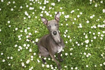 Italian Greyhound, Flower Field, Sitting, Looking at Camera