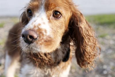 Mixed Breed Dog of Cocker Spaniel and King Charles Spaniel, Close-Up