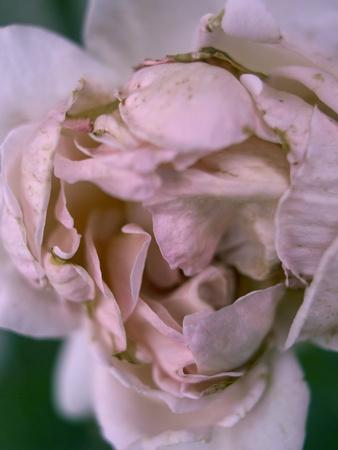 Rose, Petals, Pink, Detail