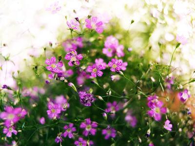 Ruprecht's Herb, Geranium Robertianum, Blossoms, Cranesbill Familys, Flowers
