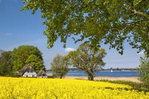 Thatched house and rape field, Schlei fjord, Baltic coast, Schleswig-Holstein, Germany by Sabine Lubenow